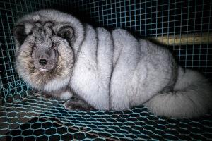 Finnland.jPelz Tier übergewichtigpg