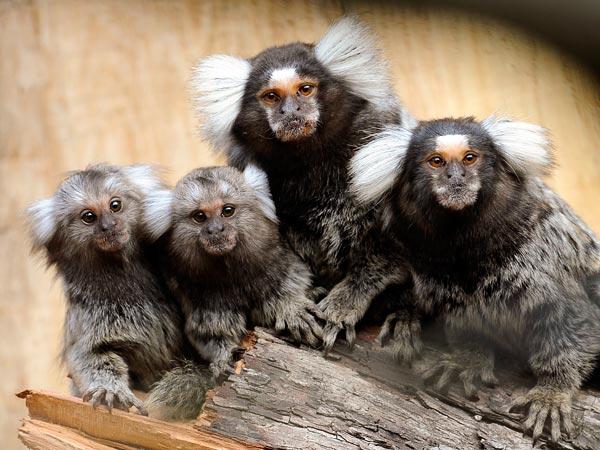 Marmoset Affen mit Kindernjpg