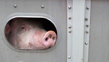 Schwein-in-Transporter_Bernhard-Richter-2-s-450x257