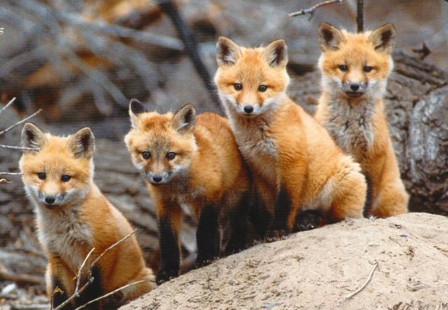 fox sake 4