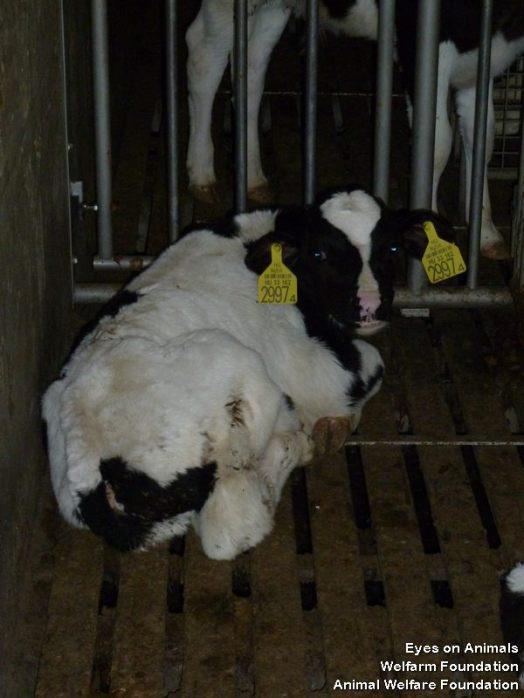 HU calf on slatted flooring