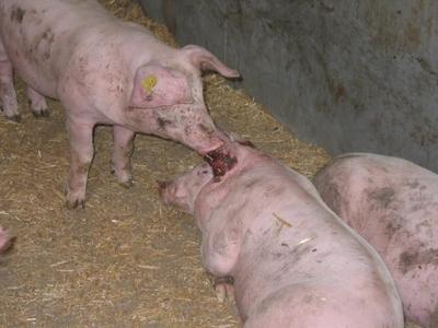 Ohren beissen von Schweinepg