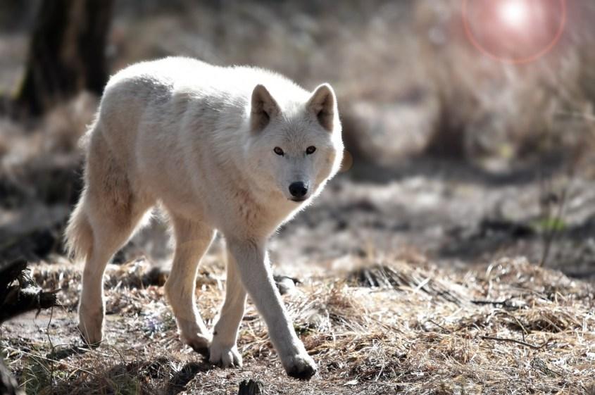 Polar Wolfg