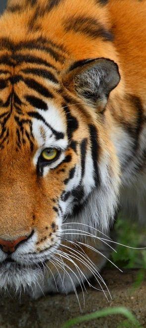 tiger half