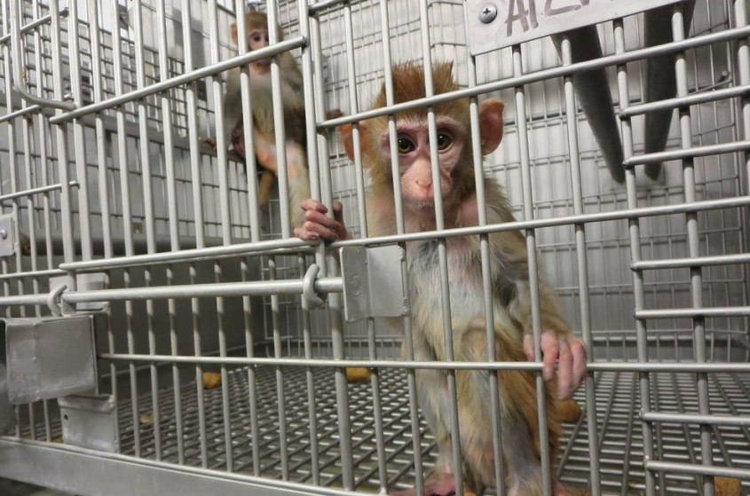 2015-01-22-Primate-Products-Investigagtion-Affe-006-c-PETA-USA