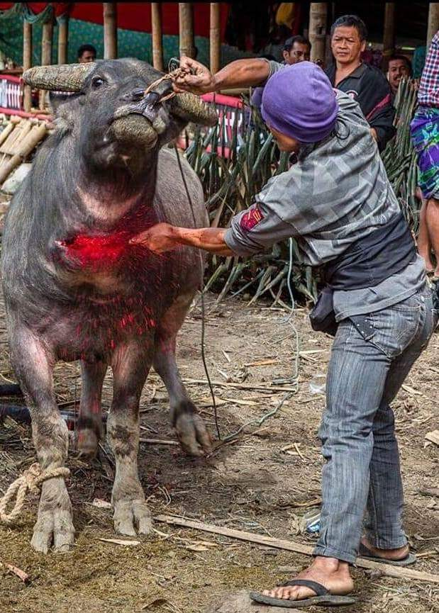 büffel mord in indonesienn