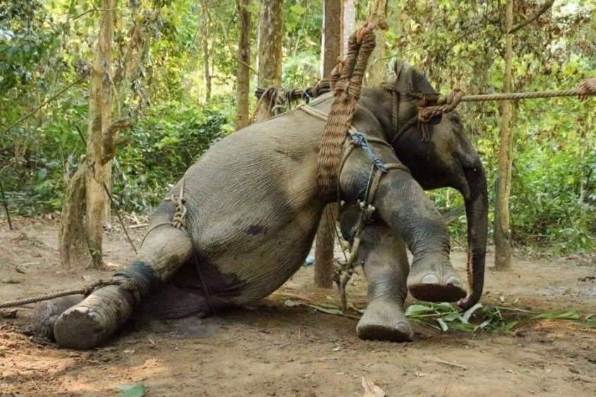 elefant-gefesselt als trainingsobjekt