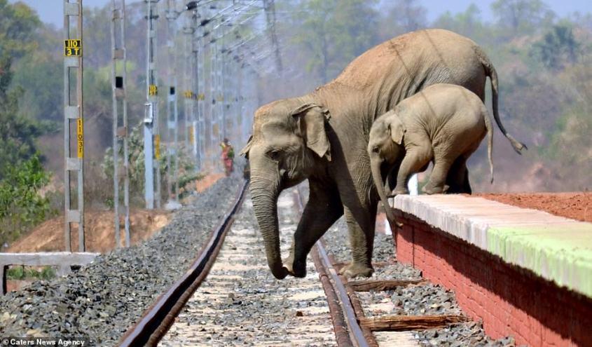 elefanten-über einen zuggleis