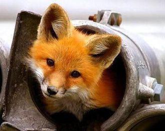 fox sake 5