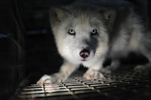 fur farm fox