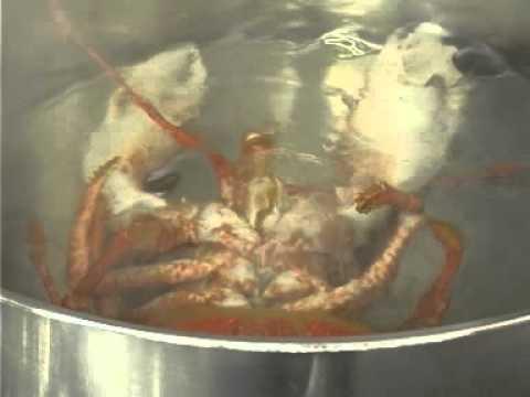 kochender hummer jpg