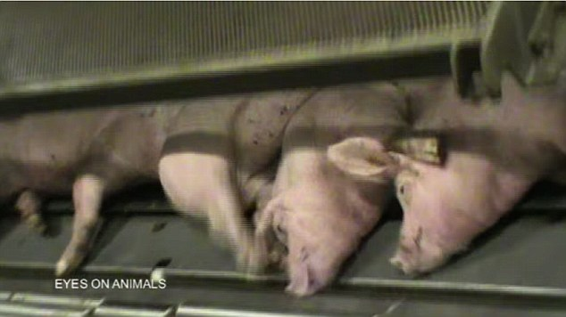 sl7 pigs being killed by co2