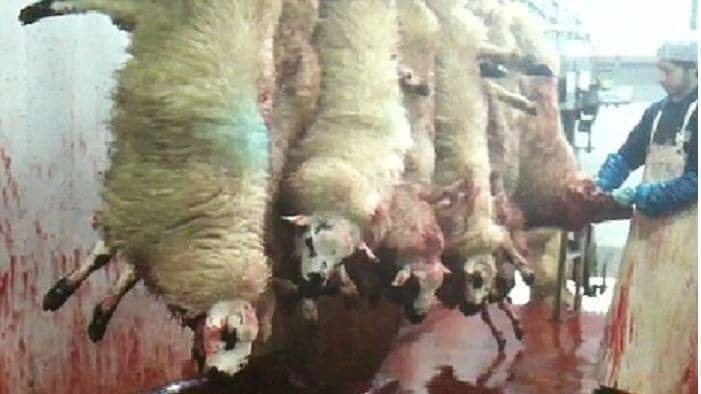 sl9 halal sheep