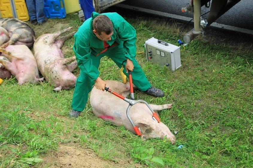 unglück beim transport mit schweinejpg