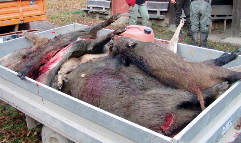 wildschweine auf karre pg