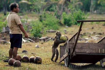 Affe der Coconuts trägt jpg