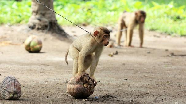 affen-makaken-kokosprodukte-tierquaelerei-