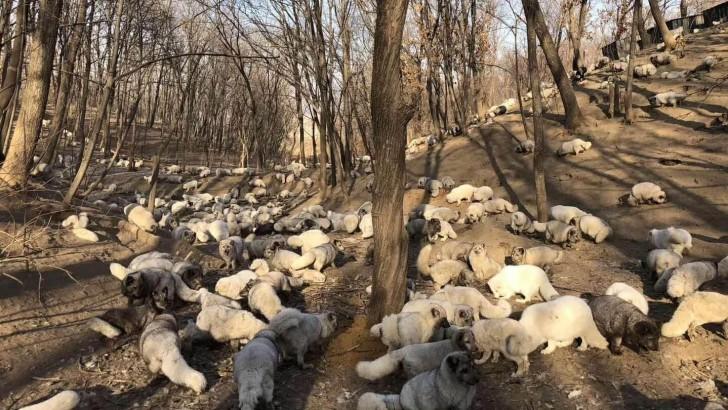 befreiete Füchse aus China jpg