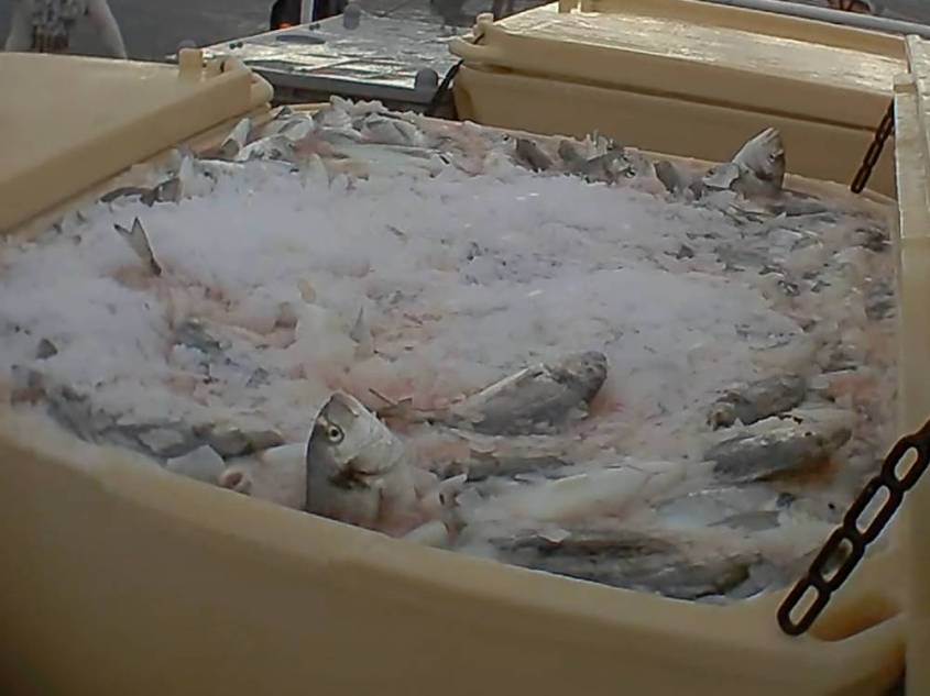 fischquaelerei-Fische-auf-Eis