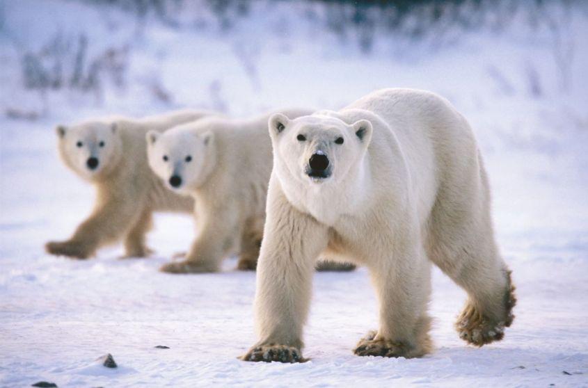 Polar-Bears-bears--1252-828
