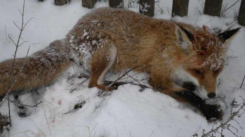 Verletzter Fuchs pg