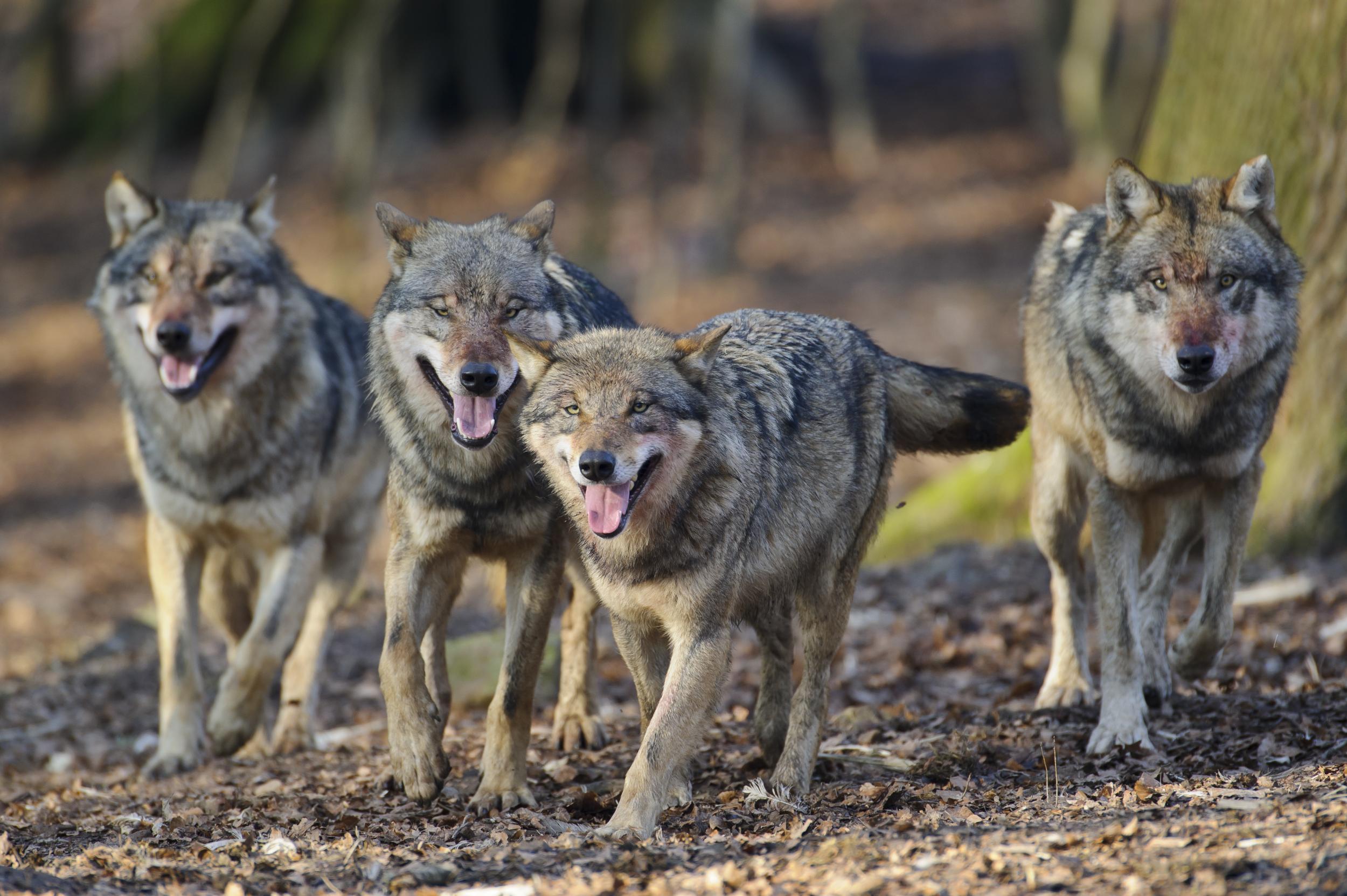 wolfsbilder zum