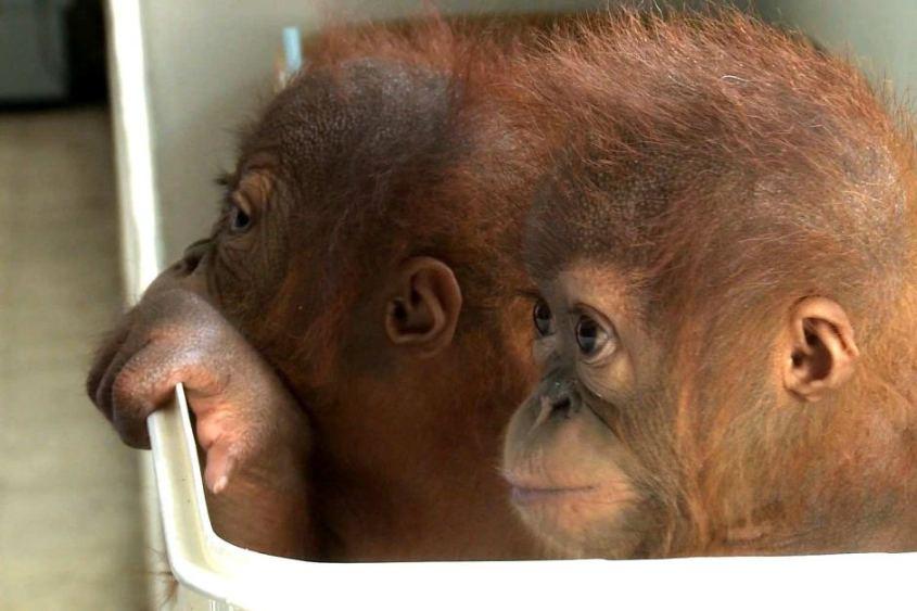 2 geschmuggelte Orangutan Babys