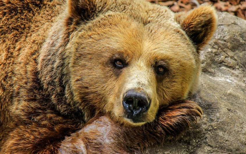 braunbär-jagdquote-rumänien-schutz-