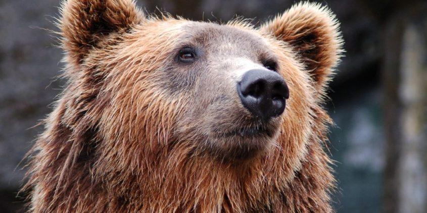 braunbären-jagdquote-rumänien-bärenschuss-