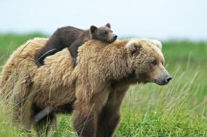 Brown_Bears_pg
