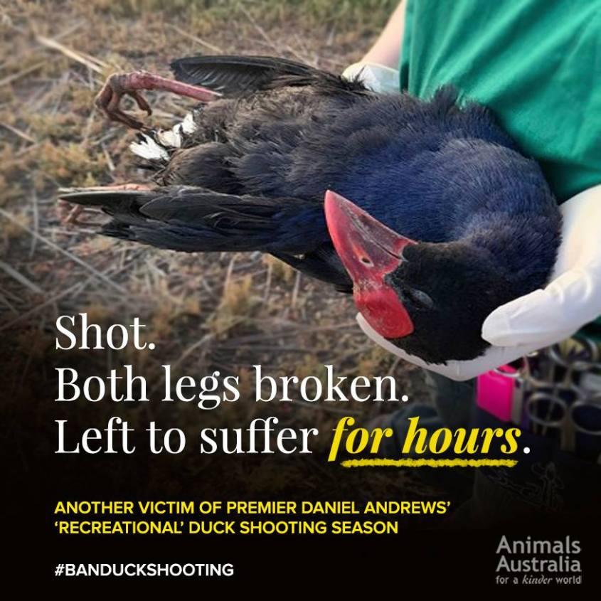 Entenj Jagd in Australien jpg
