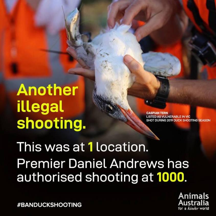 erschossenen Ente in Australien_n