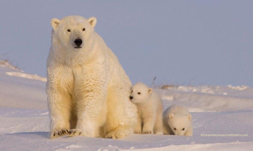 polar bears alaska wild