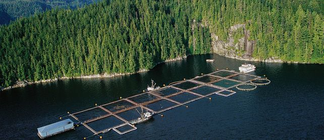 salmon-fish-farm