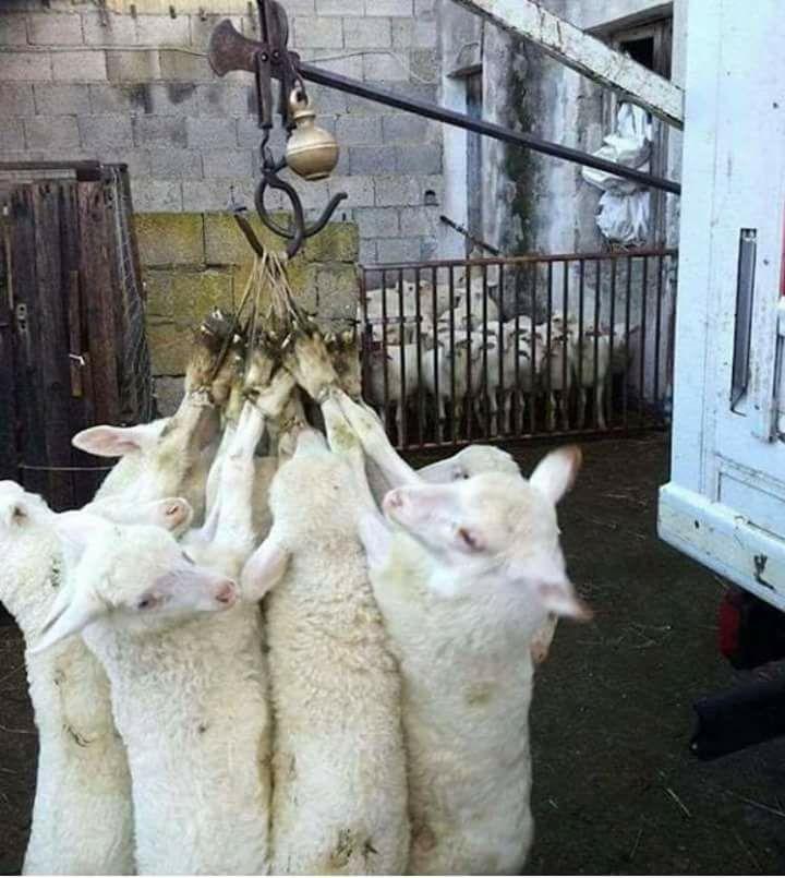 Schafen im Hacken gehängt