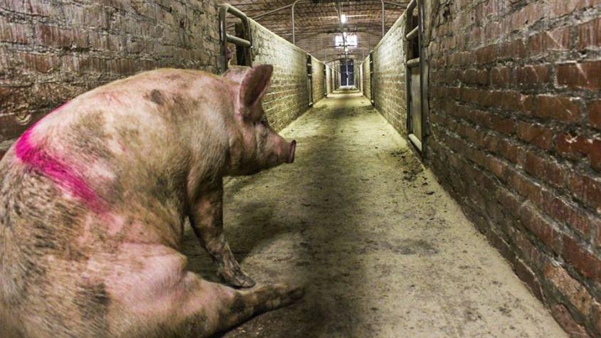 Schwein allein im Schlachthofn