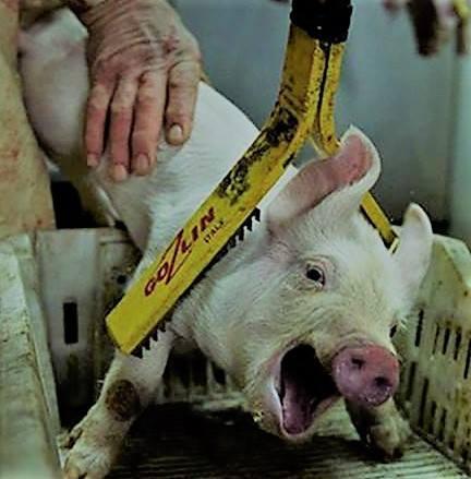 Schwein unterm Bold