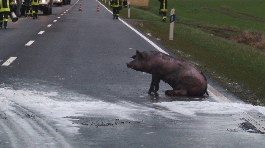 schweine verbrannt peg