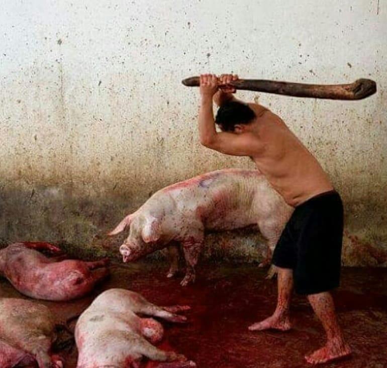 schweine werden geschlagen_n