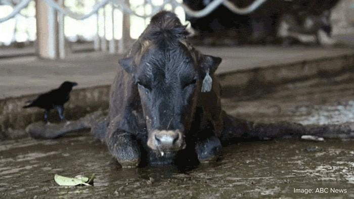 AA Cow 7 4 19