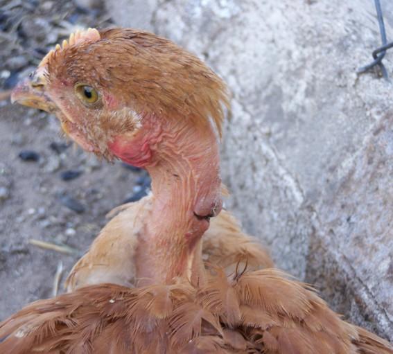 abgezupftes Hühner kopfjpg