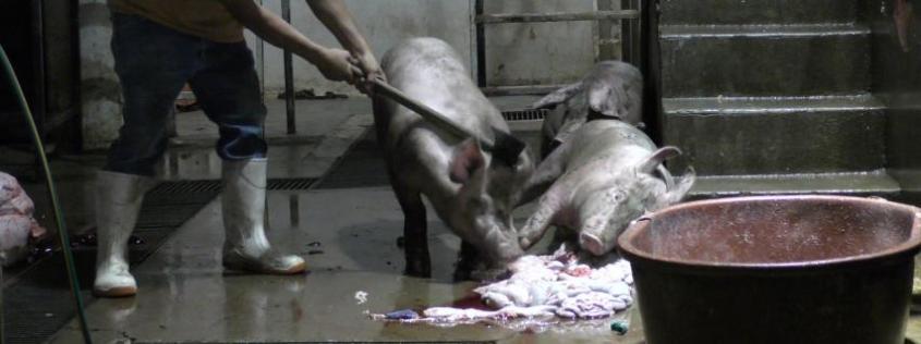 animalcruelty1_schweine im Mexicojpg