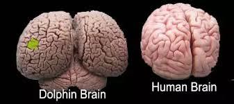 dolphin hu,man brain