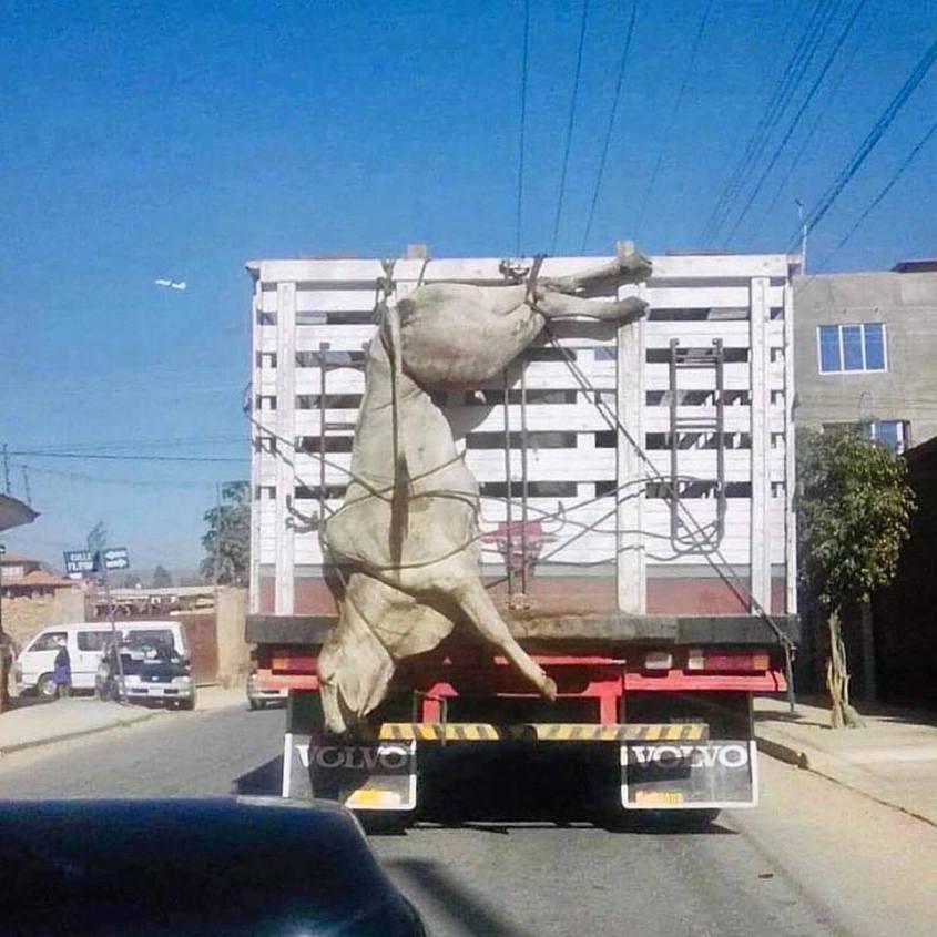 kuh hängt ausserhalb eines LKW`s_n