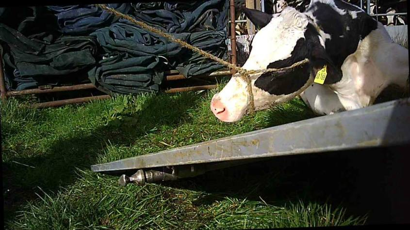 Kuh mit Seil auf das Augeo