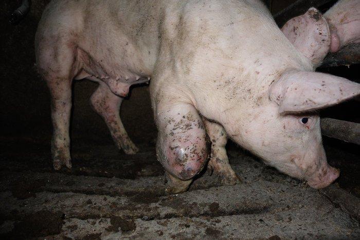 schwein in Mastjpg