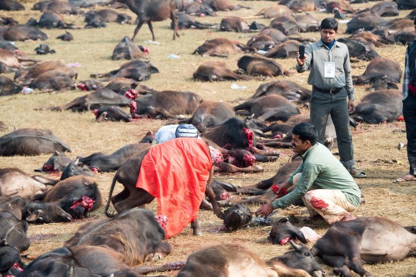 abkehäpfte Gadhimai Opfer