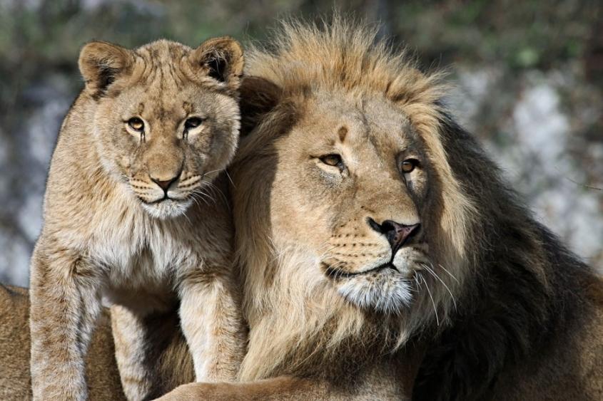 afrika Löwen
