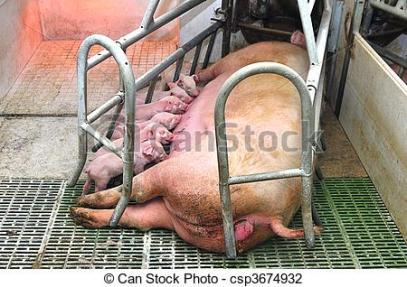 baby-schweine-stock-foto_csp3674932
