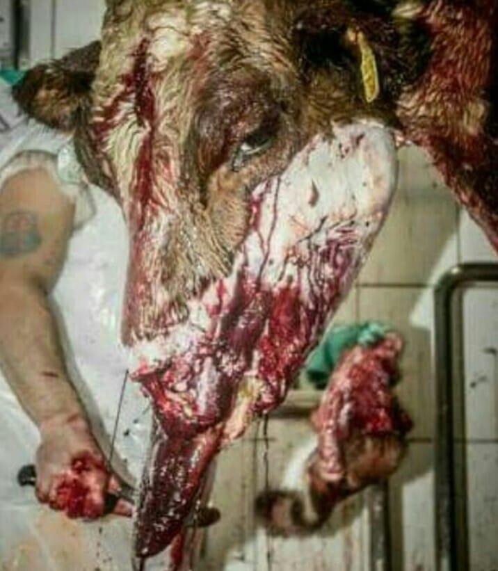 Blutender Kuh Kopf_n